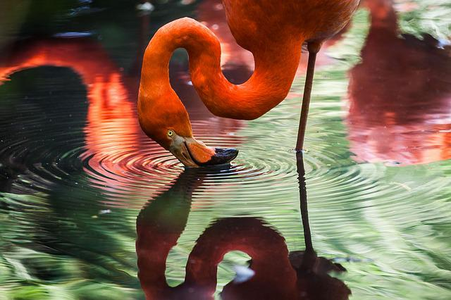 Animal, Avian, Bird, Feathers, Flamingo, Lake, Plumage