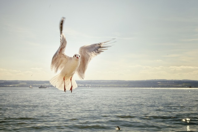 Gull, Flight, Flying, Lake, Lake Constance, Bird