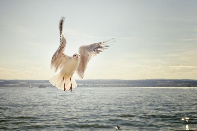 Gull, Flight, Flying, Lake, Lake Constance, Bird