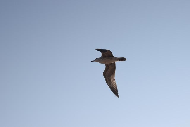 Sky, Bird, Flight, Seagull