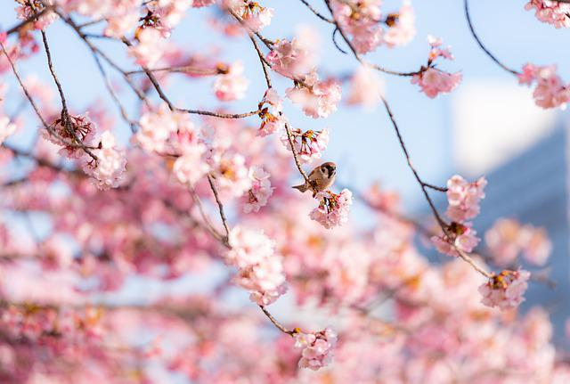 Cherry Blossom, Flowers, Bird, Sparrow, Perched, Branch