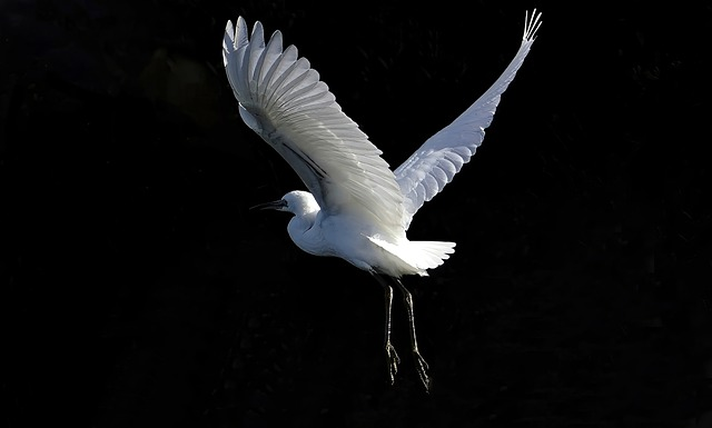 Egret, Bird, Fly, Little Egret, Wader, Wild, Nature