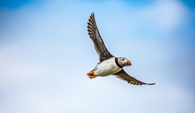 Puffin, Bird, Sea, Flight, Wildlife, Fly, Feather