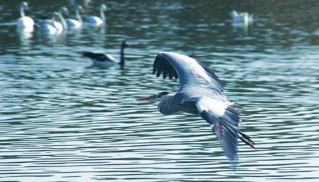 Water, Bird, Nature, Wildlife, Feather, Fly, River
