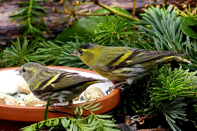 Bird, Cape Canary, Male And Female, Serinus, Food Bowl