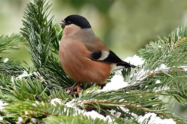 Bullfinch, Bird, Female, Animal, Pyrrhula, Foraging