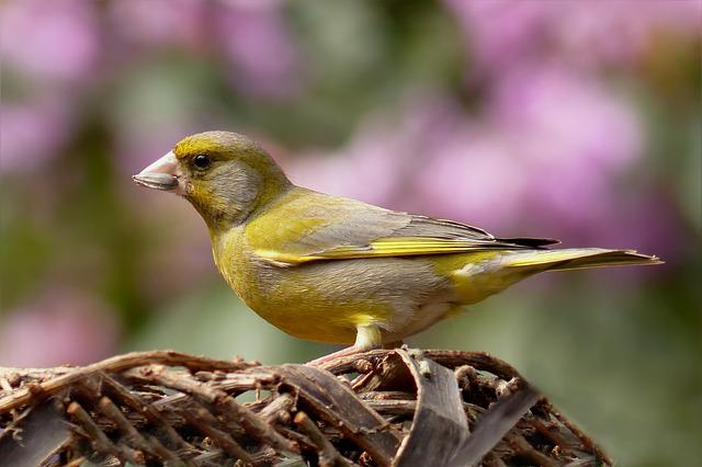 Greenfinch, Bird, Foraging, Garden