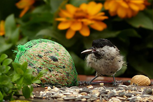 Coal Tit, Periparus Ater, Bird, Young, Foraging, Garden