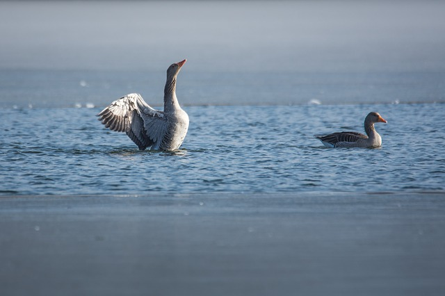 Waters, Bird, Nature, Goose, Greylag Goose, Lake, Ice