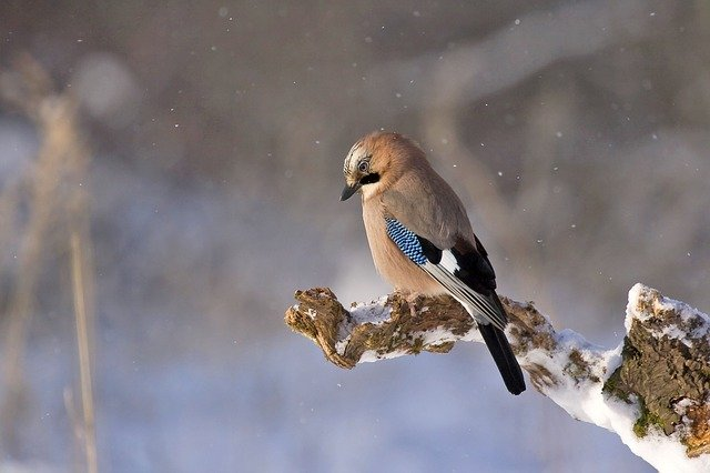 Jay, Bird, Animal, Perched, Gray Animals, Gray Birds