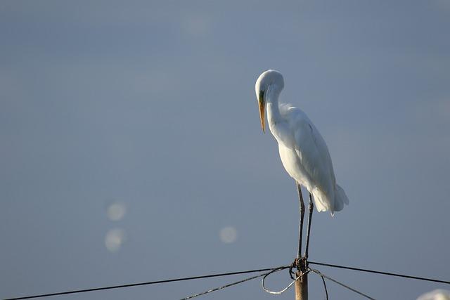 Bird, Egret, Great Egret, White, Wildlife, Portrait