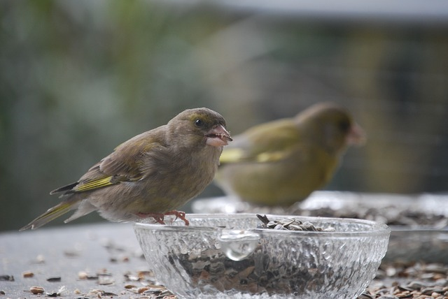 Greenfinch, Bird, Feeding, Birds Feeding