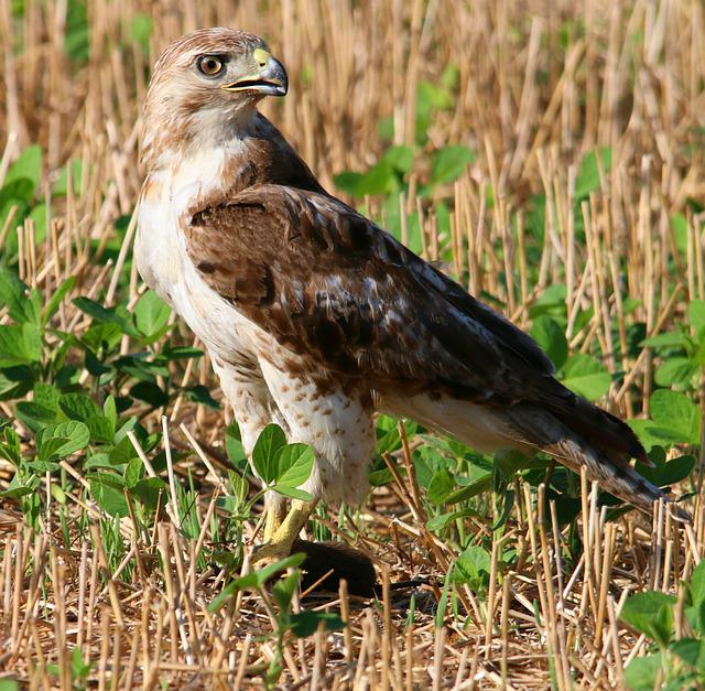 Red Tailed Hawk, Red-tailed, Hawk, Bird, Raptor
