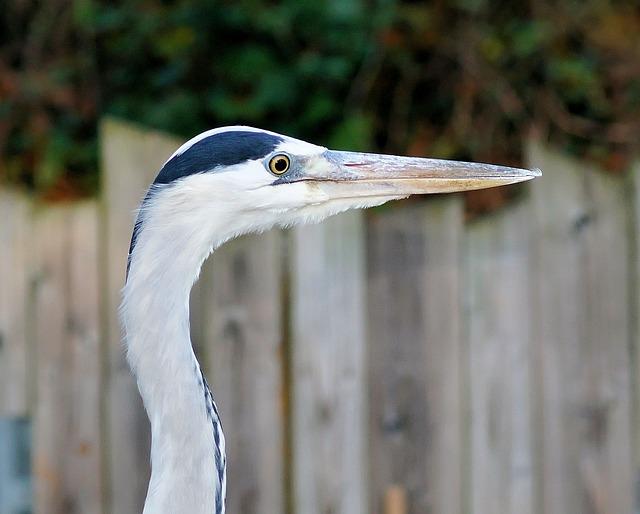 Heron, Grey Heron, Portrait, Head, Bird, Eastern