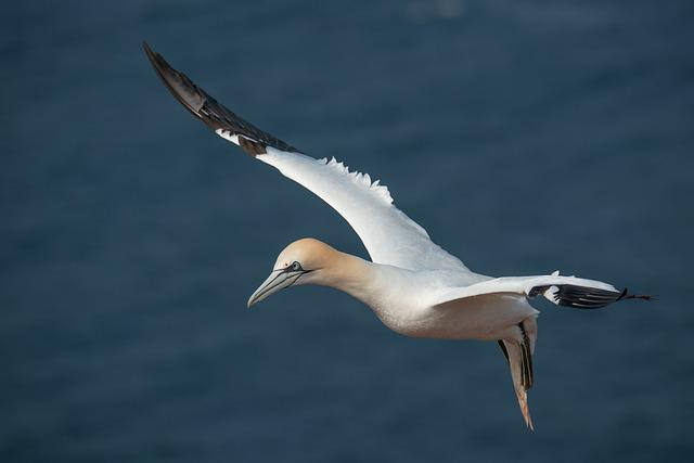 Northern Gannet, Morus Bassanus, Helgoland, Bird
