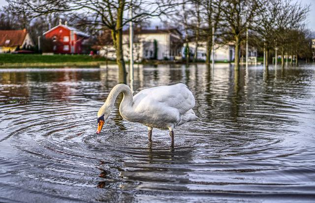 High Water, Swan, Flow, River, Flooding, Animal, Bird
