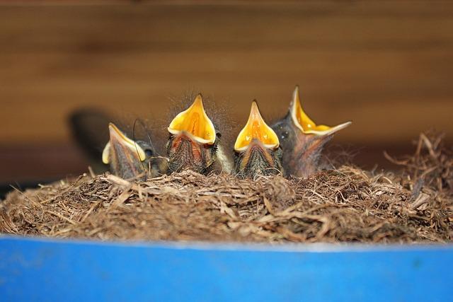 Bird, Nest, House Rotschwänzchen, Hatching, Hunger