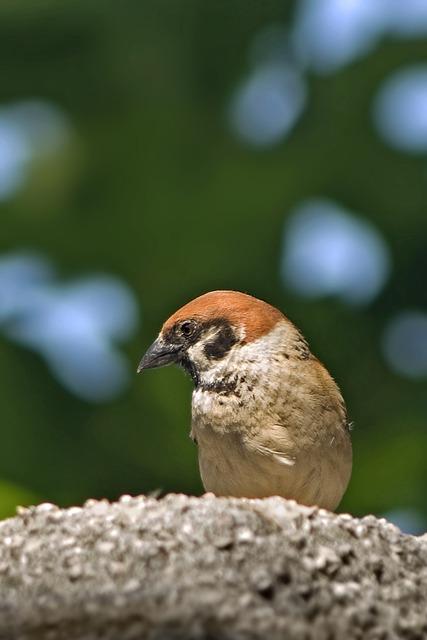 Sparrow, Bird, Rock, House Sparrow, Passer Domesticus