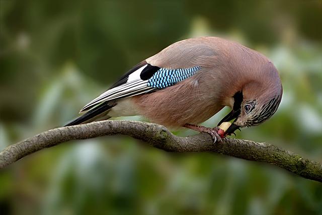 Animal, Bird, Jay, Garrulus Glandarius, Hunger, Eat