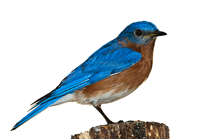 Bird, Bluebird, Bird Png, Nature, Perched, Isolated