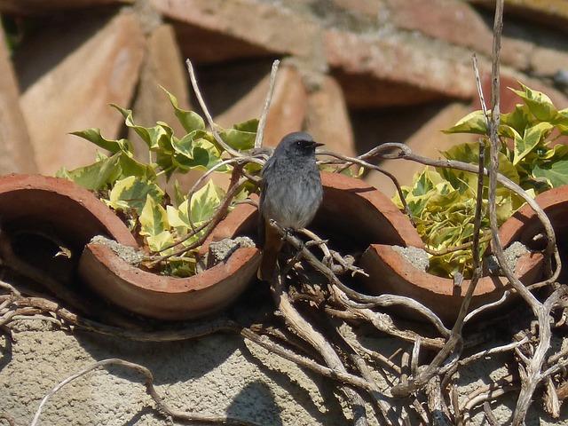 Black Redstart, Phoenicurus Ochruros, Bird, Ivy