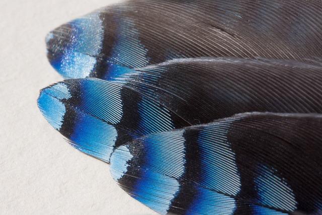 Feather, Jay, Garrulus Glandarius, Raven Bird, Bird
