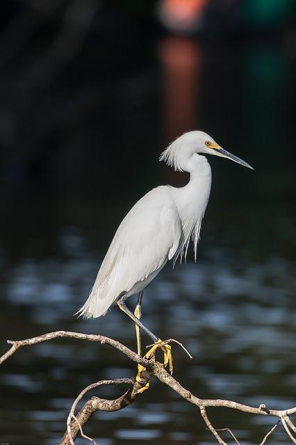 Jewelry-breasted, Heron, Bird, White Bird, Water Bird