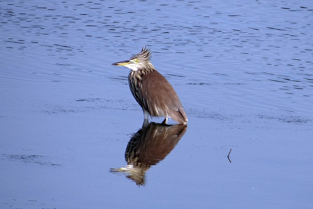 Pond Heron, Bird, Reflection, Creek, Karwar, India