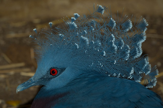 Victoria Crowned Pigeon, Bird Kingdom, Bird, Blue