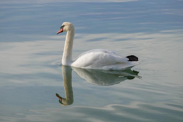 Bird, Body Of Water, Swan, Lake, No Person