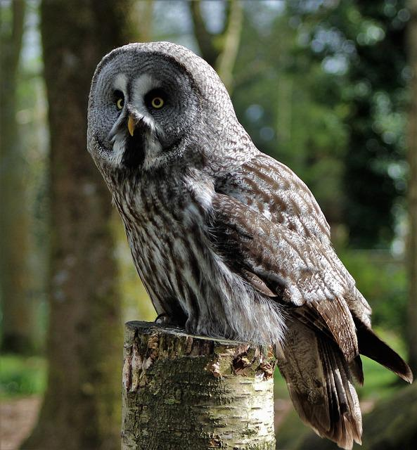 Grey Owl, Large Owl, Owl, Bird, Animal, Nature