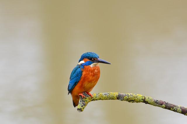Kingfisher, Bird, Wild, Life, Nature, Natural, Animal