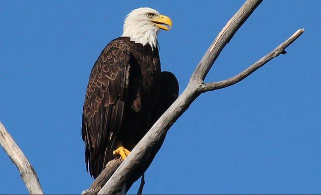 Eagle, Bird, America, Majestic, Freedom
