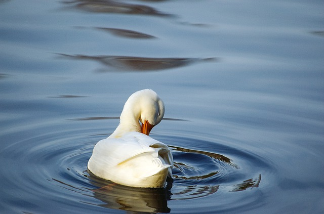 Duck, Bird, Water Bird, Mallard, Peking Duck, Clean