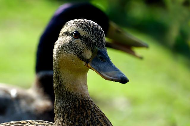 Nature, Animal World, Bird, Animal, Duck, Mallard