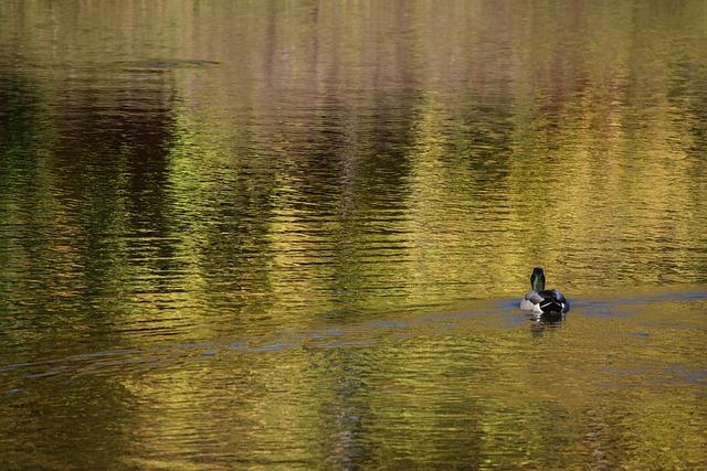 Duck, Pond, Nature, Bird, Water, Waterfowl, Mallard