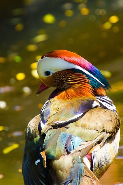 Mandarin Ducks, Mandarin Duck, Duck, Bird