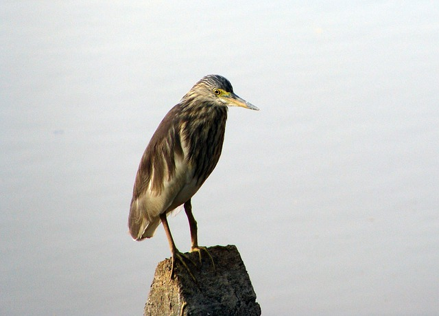 Pond Heron, Wader, Marsh, India, Bird, Fly, Wings