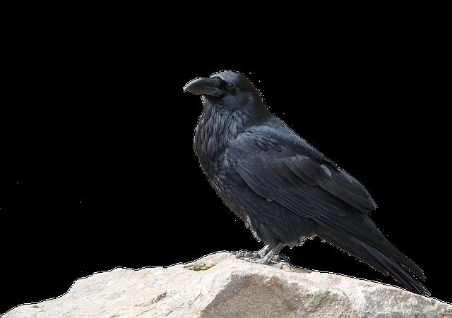 Raven, Bird, Animal World, Nature, Animal, Wild