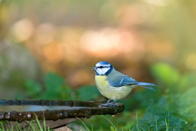 Blue Tit, Bird, Tit, Nature, Garden, Yellow