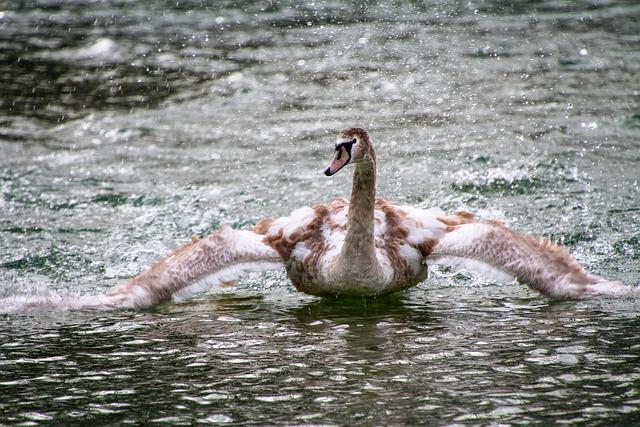 Swan, Lake, Young Swan, Bird, Nature, Animal World