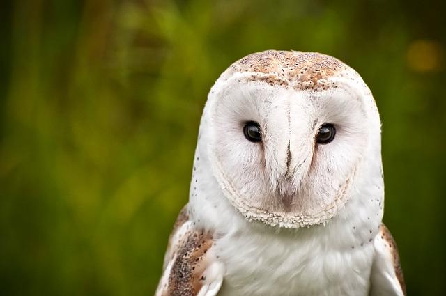 Owl, Bird, Wildlife, Macro, Closeup, Nature, Outdoors