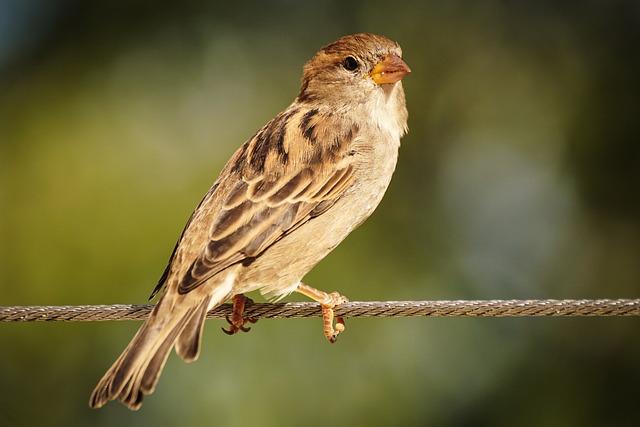 Sparrow, Sperling, Bird, Nature, Feather, Plumage