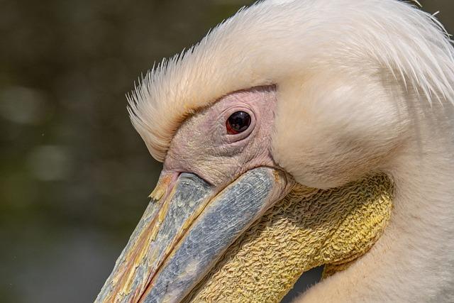 Tisza-lake ököcentrum, Poroszlo, Pelican, Bird, Nature