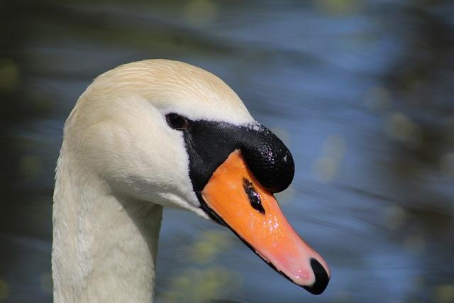 Bird, Animal World, Waters, Nature, Water Bird, Swan