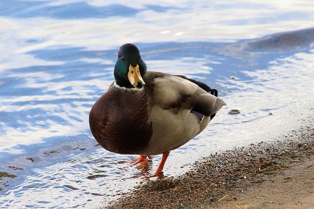 Duck, Bird, Water, Nature, Lake, Mallard, Waterfowl