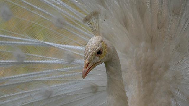 Peacock, Pavone, Animale, Bird, Nature, Animal, White