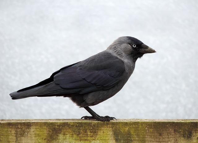 Bird, Jackdaw, Black, Wildlife, Animal, Wild, Nature