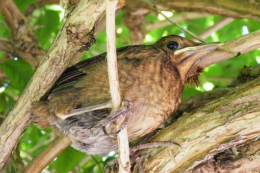 Young Blackbird, Nice, Branches, Bird, Farley