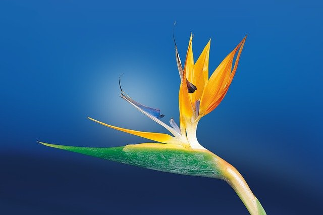 Caudata, Blossom, Bloom, Bird Of Paradise Flower